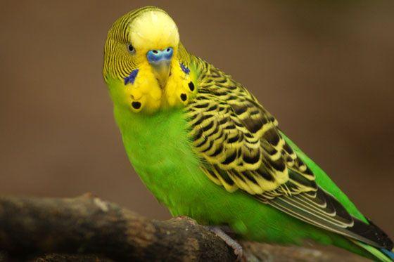 волнистый попугай. фото