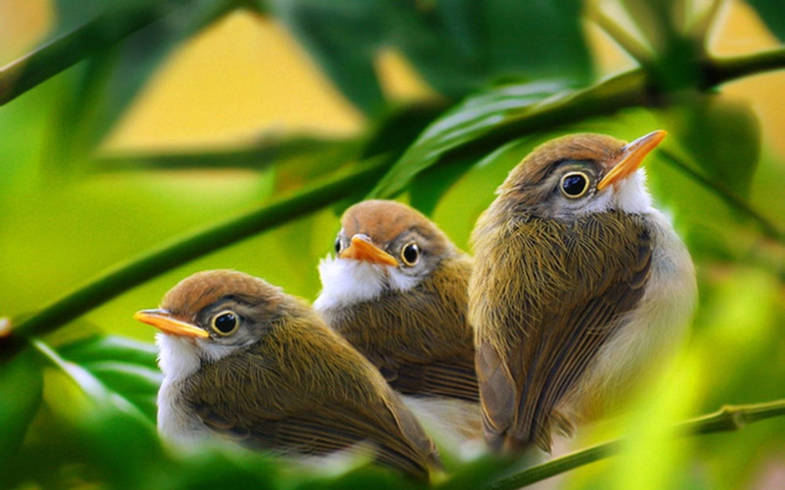 напыщенная птичка скачать